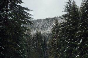 Oregon Trees in Snow